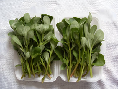 供应荷兰马齿笕野菜