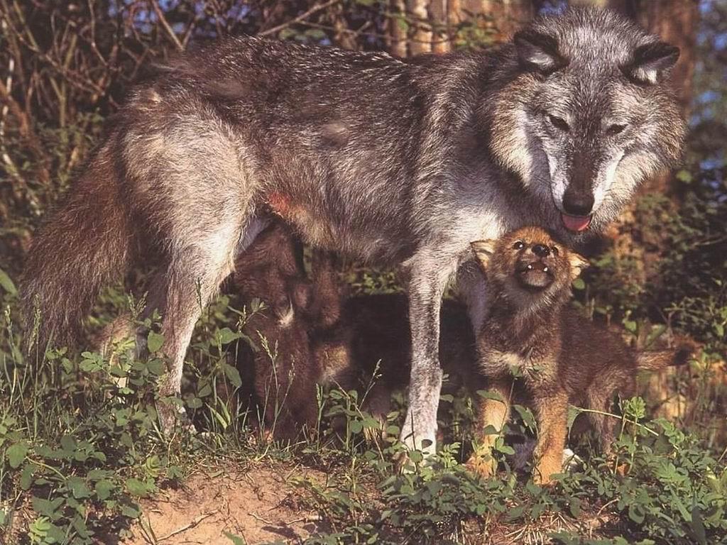 狼子野心 - 西部落叶 - 西部落叶