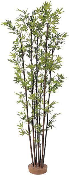 室内竹植物图片》》铁竹的植物图片》》室内竹植物