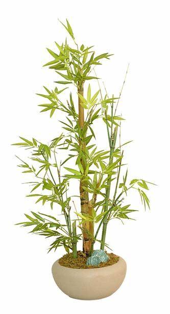 室内竹植物图片》》铁竹的植物图片》》室内竹植物图
