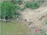 [原创]秦安:燕子从水面疾速滑过掠水喝