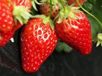 草莓形象大使评选活动
