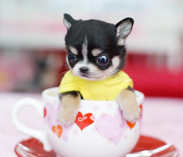 """[转贴]可爱到""""爆""""的茶杯犬"""