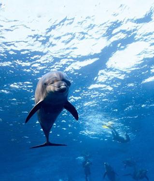 张开嘴,露出满嘴的牙齿并不断地发出连击般的叫声,这时候的海豚会令人