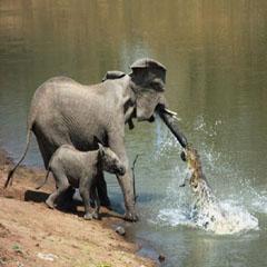 2010十大新闻图片:鳄鱼伏击大象