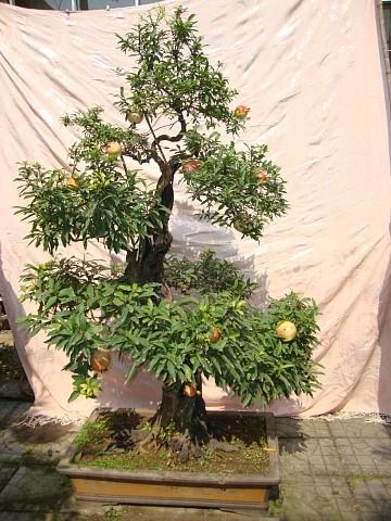 石榴树盆景 造型美观 大量出售