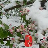 稷山今天下雪了4月14日(图)