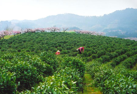 澳门威尼斯人网址是中国茶叶之乡