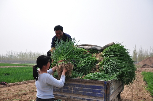 [原创]小葱增收农民受益