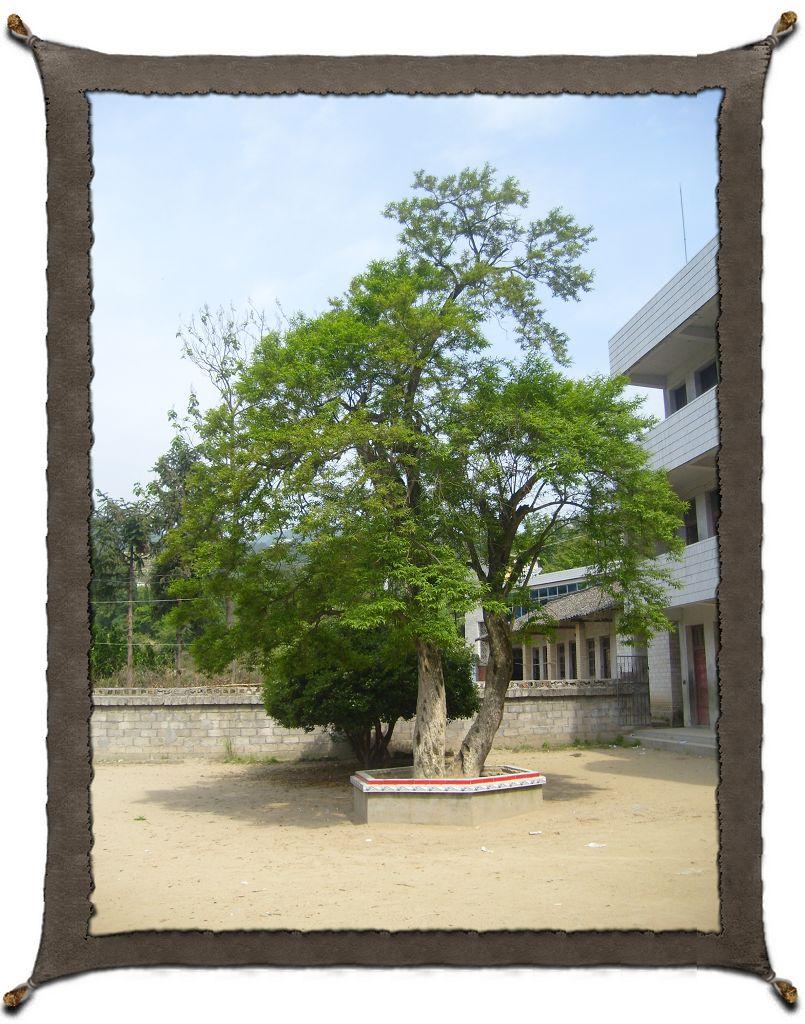 松子关发现神奇五谷树 漆威/文图 在金寨县吴家店镇松子关村的关前小学校园内,有一株不知学名和科属的树,当地群众都叫它神仙树或者五谷树。 该树高约8米,树冠面积近40平方米,虽然底部连在一起,主干却有两根,干围约1。5米,五谷树生长在学校围墙内的院子中央,接近地面的根部已经被学校建了一个类似于花坛的池子填了泥土保护了起来。 古时这里有一座庙叫做观音堂,建有一正一横两幢建筑,正房即观音堂,横屋叫做文昌阁,自古办学。 现在该校执教的有三位老教师,罗先贻、方礼前老师都已57岁了,金友明老