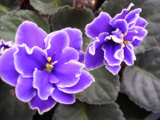 我喜欢紫罗兰