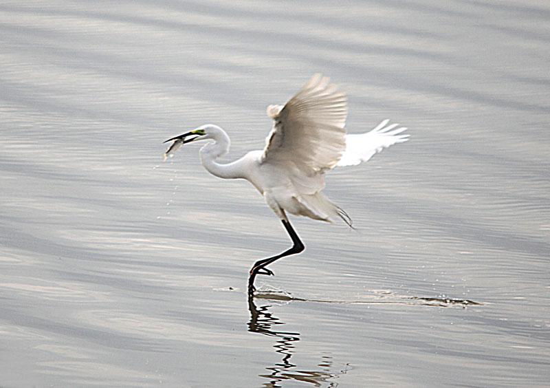 动物摄影-117 白鹭捉鱼>