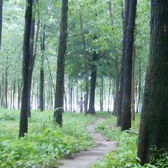 原创:杉树林之夏
