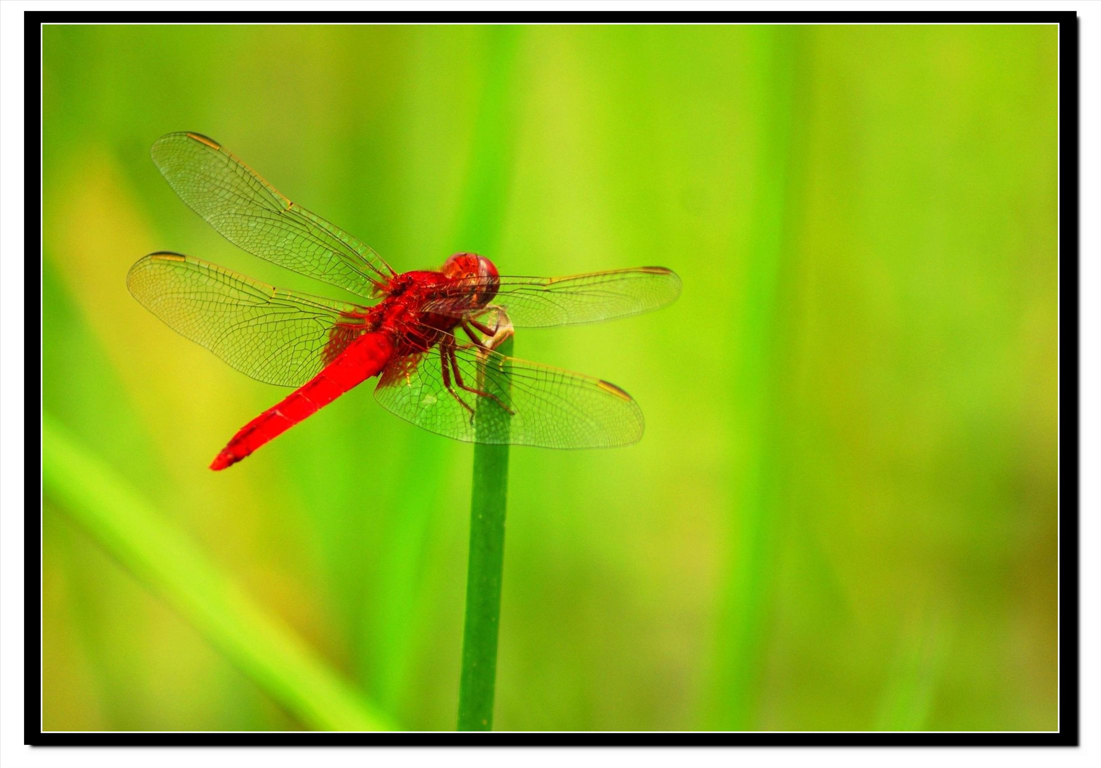 大蜻蜓简笔画彩色