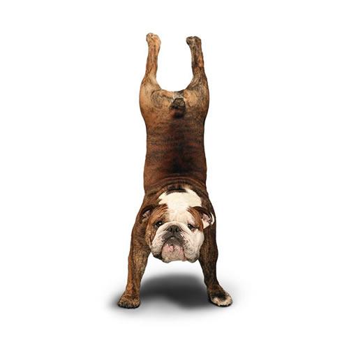 [分享]搞笑狗狗瑜伽 狗狗图片 狗狗快乐大家分享!