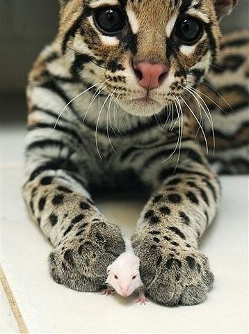 豹猫什么的 实在是萌得犯规啊!