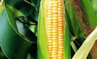 30万亩全膜玉米为澳门银河网址农民带来增收新希望