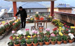 [�D�N]�墼诔醵��`放:八旬老人的三十年菊花情