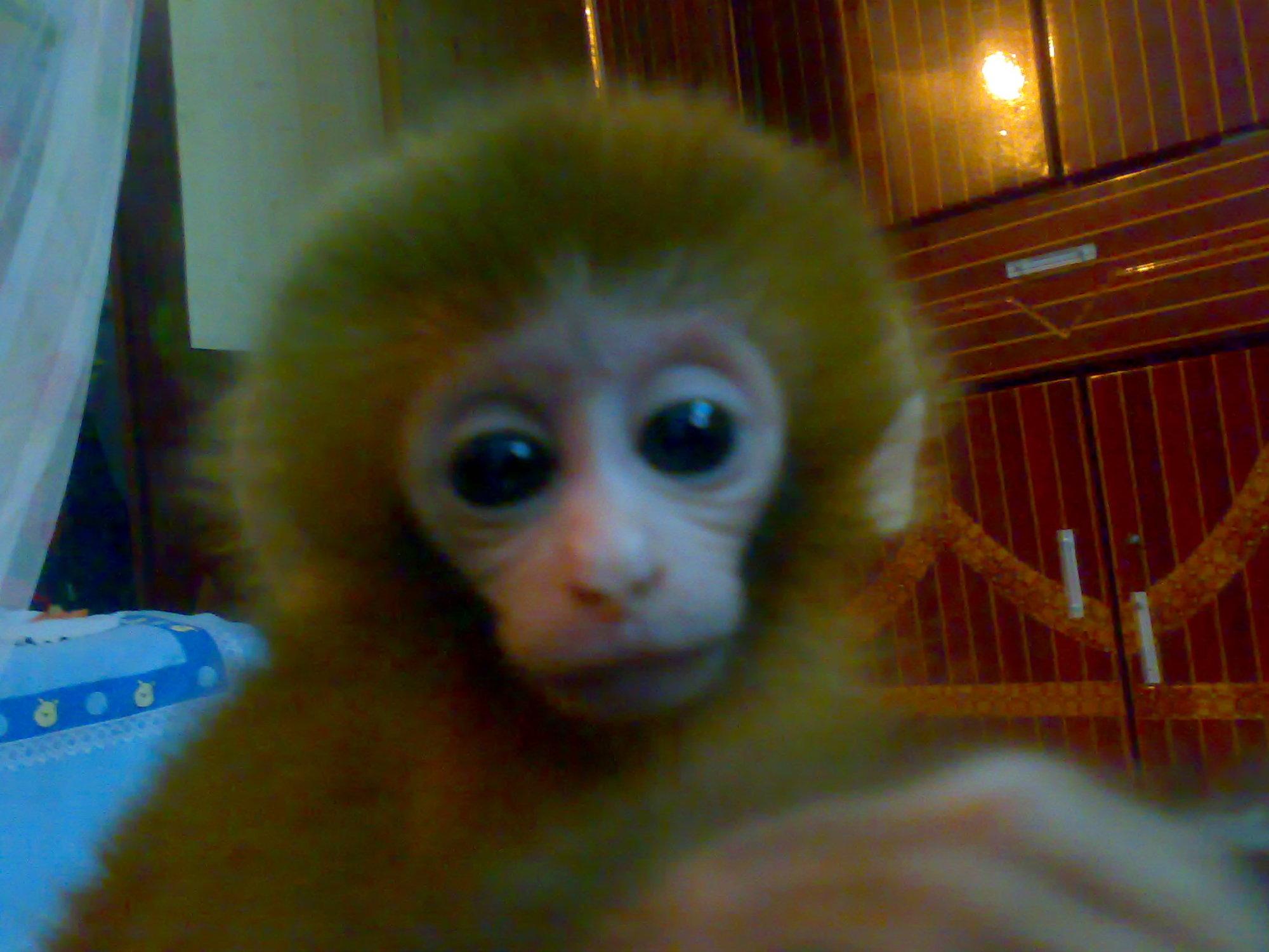 可爱的小猴子,就是太贵啦啦!