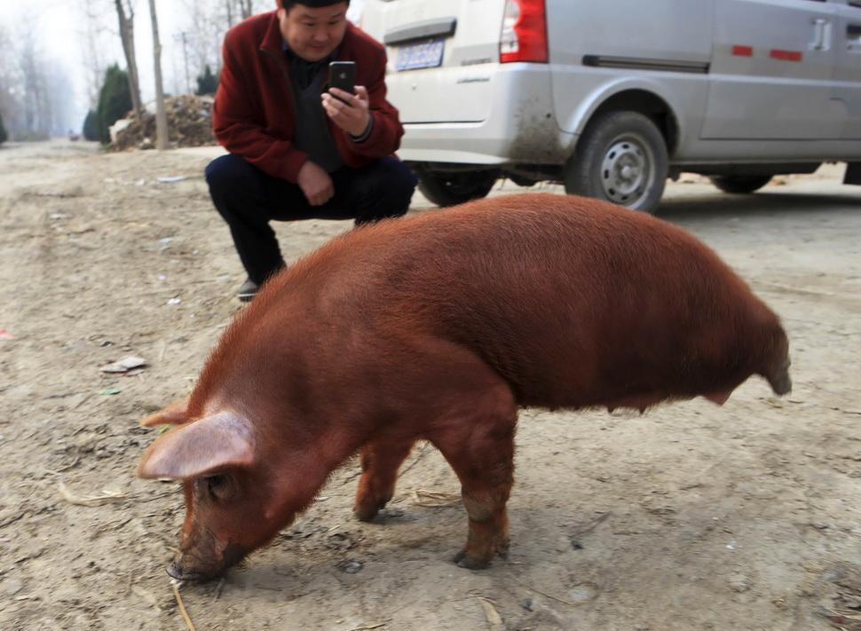 """""""猪坚强""""靠两前腿行走(图)"""