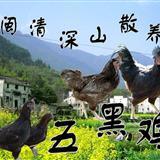 [推荐]闽清深山散养,纯谷物饲养黑鸡,春节礼盒装预售。
