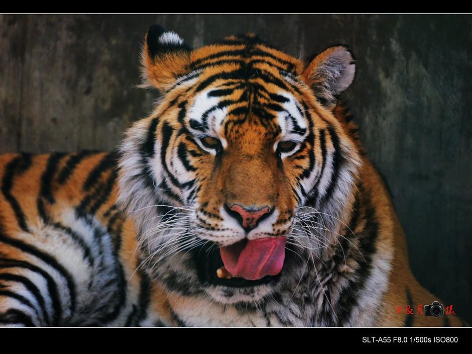 [原创]老虎来了(遵义动物园一)