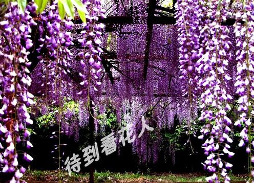 紫藤花的传说