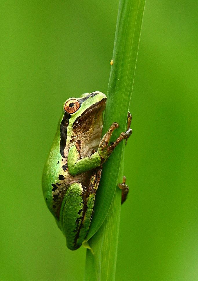 [贴图]春天来了,好乖的青蛙美图
