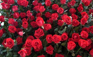 洋县也有美丽的玫瑰花