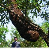 世界上最大的野生蜜蜂群落