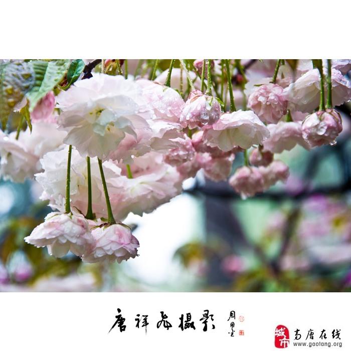 清纯的樱花