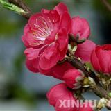 澳门银河网址2011-1-26桃花节照片