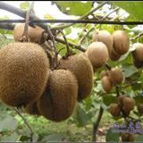水果之王――江山猕猴桃