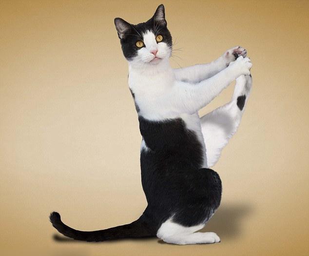做瑜伽的猫