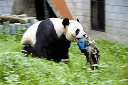 """昨日,武汉动物园一只名叫""""希望""""的大熊猫咬死来它地盘觅食的蓝孔雀,一"""