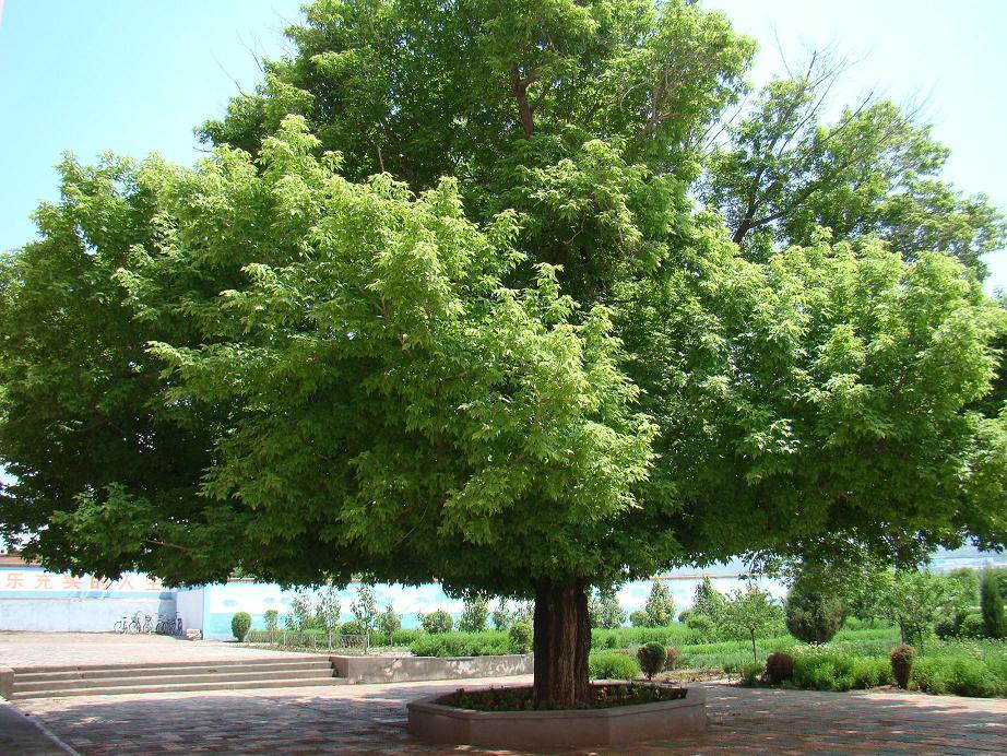 按先种2棵松树,再种3棵杨树的顺序种,第28棵是什么树?其中杨树有多少棵?(图2)  按先种2棵松树,再种3棵杨树的顺序种,第28棵是什么树?其中杨树有多少棵?(图4)  按先种2棵松树,再种3棵杨树的顺序种,第28棵是什么树?其中杨树有多少棵?(图7)  按先种2棵松树,再种3棵杨树的顺序种,第28棵是什么树?其中杨树有多少棵?(图9)  按先种2棵松树,再种3棵杨树的顺序种,第28棵是什么树?其中杨树有多少棵?(图11)  按先种2棵松树,再种3棵杨树的顺序种,第28棵是什么树?其中杨树有多少棵?(