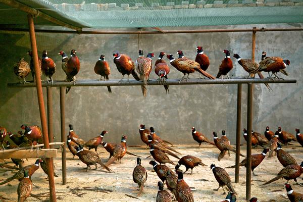 富顺县童寺镇七彩山鸡、野鸭、贵妃鸡等珍禽野味!
