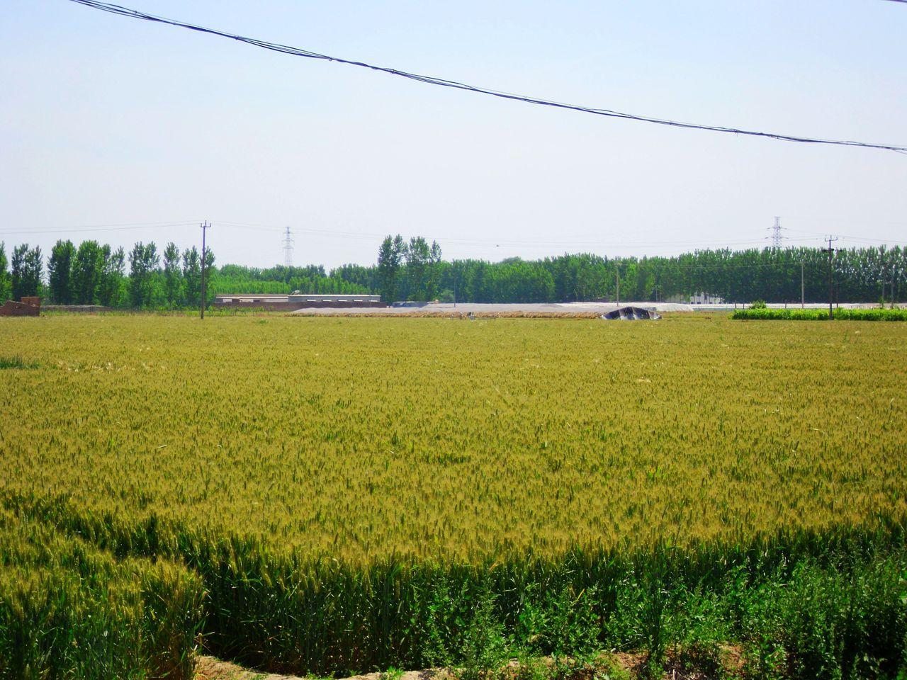 咱家的麦子黄了