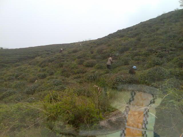 �负痈酆诹�潭山顶茶场。