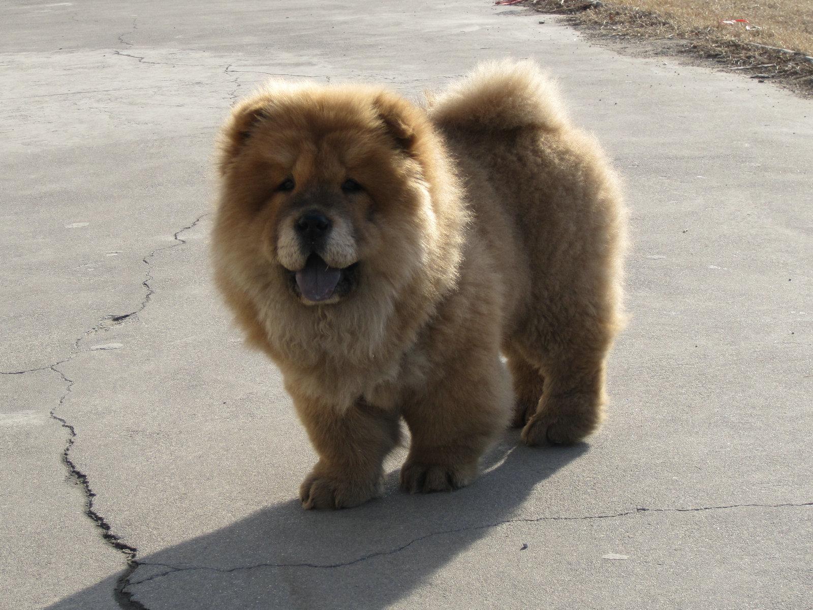 家有爱犬松狮