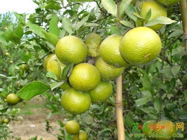 [分享]化州特产――柑橙
