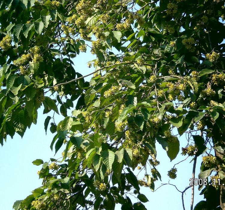 【原形态】落叶乔木,高达30米.树皮浅灰色.