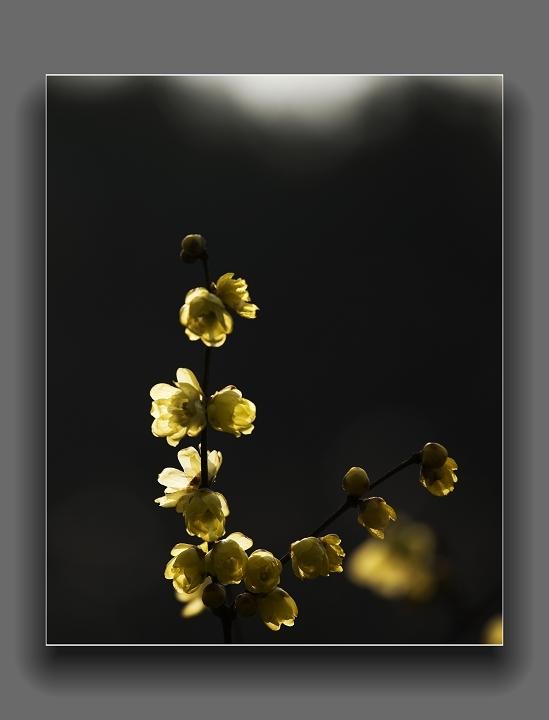 [贴图]腊梅花开,真香
