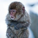 摄影师捕捉日本雪猴冬日享受温泉瞬间