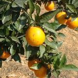 2008年用索尼T100在强烈阳光下普通摄影脐橙