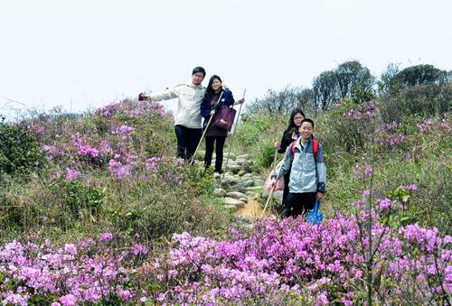罗浮山杜鹃花开放引来众多游客赏花(图)