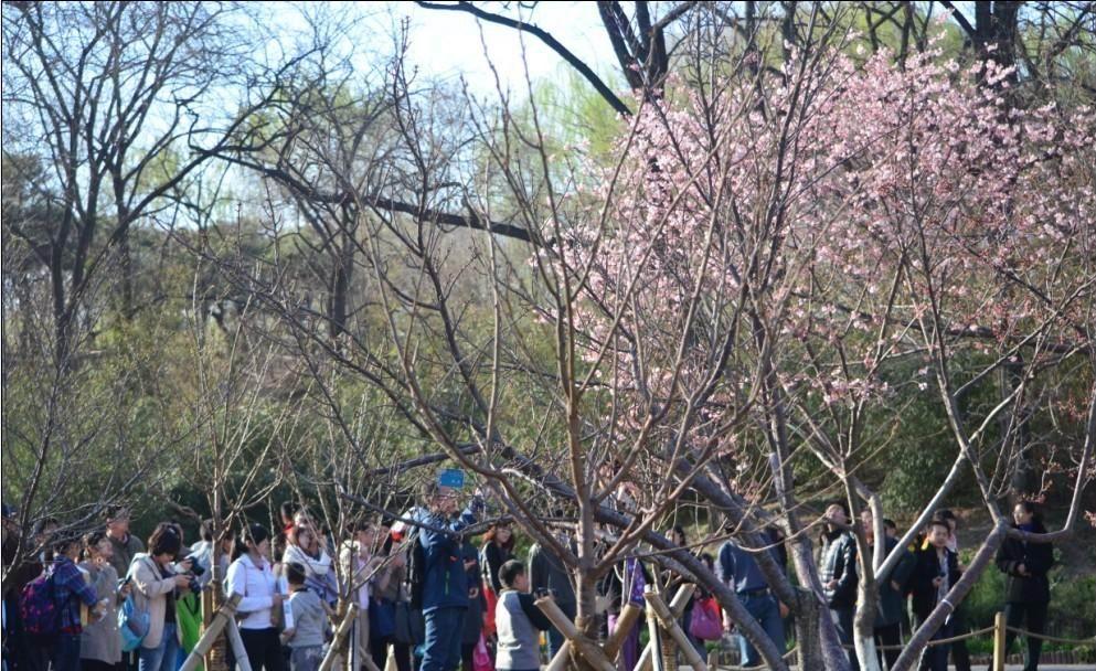 [贴图]清明节期间北京十几万人围观一棵树!