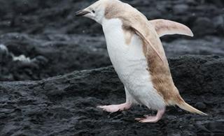 南极发现罕见白色变种企鹅