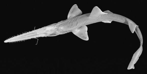 非洲发现新种鲨鱼:嘴似长剑刺穿鱼群(图)
