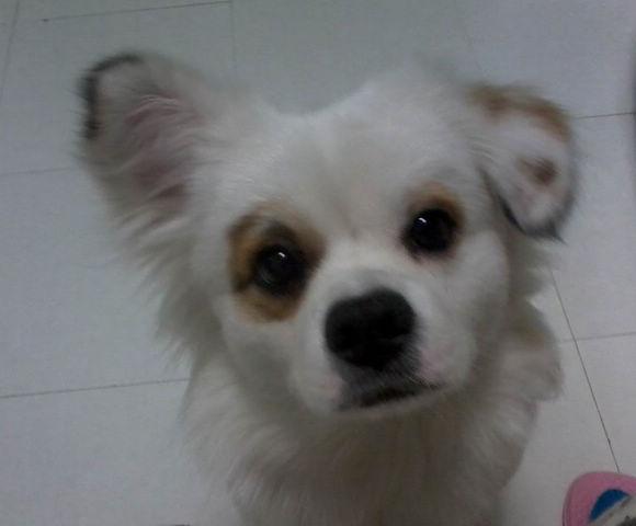 [求助]寻白色宠物狗